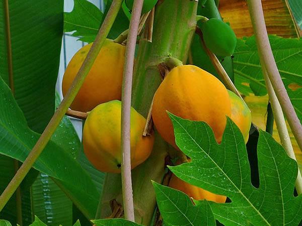חפצים - עיצוב הבית פרי הפפאיה – הויטמין המתוק מכולם