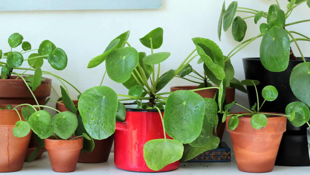 חפצים - עיצוב הבית Pilea</br>פילאה המופלאה – צמח בית שגם אתם עשויים להתאהב בו – וגם סיפור